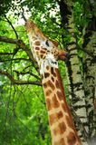 The big reach. A giraffe stretches out its neck and tongue to reach leaves high in a tree royalty free stock photo
