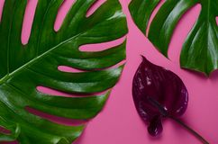 Big real monstera leaves on a pink background. Tropical theme background in a trendy minimalist style. Big real monstera leaves on a pink background. Tropical Stock Photo