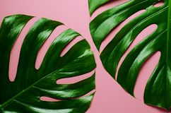 Big real monstera leaves on a pink background. Tropical theme background in a trendy minimalist style. Big real monstera leaves on a pink background. Tropical Royalty Free Stock Photography