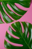 Big real monstera leaves on a pink background. Tropical theme background in a trendy minimalist style. Big real monstera leaves on a pink background. Tropical Stock Image
