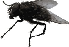 Big realistic housefly Stock Images