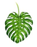 Big realistic leaf of monstera. Royalty Free Stock Photos