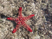 Big Red. Red starfish in the indian ocean Royalty Free Stock Images