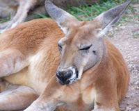 Big Red. A red kangaroo takes a break after a hard day Royalty Free Stock Image