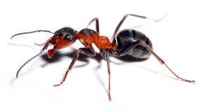 Big red ant. Big red ant isolated on white background Stock Images