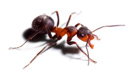 Big red ant. Royalty Free Stock Photography