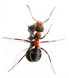 Big red ant. Royalty Free Stock Photo