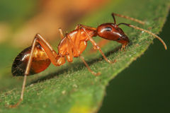 Big Red Ant Stock Photography