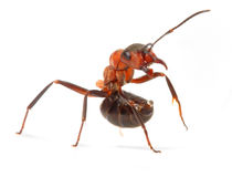 Big red ant. Royalty Free Stock Photos