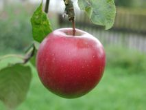 Big Red Apple Stock Photography