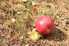 Big red apple and autumn leaves on the grass Stock Images
