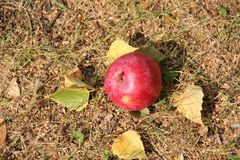 Big red apple and autumn leaves on the grass Royalty Free Stock Photography
