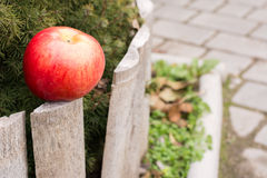 Big red Apple in the yard near the tree. Apple red and ripe on the background of wood and stone Stock Images