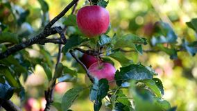 Free Big Red Apples On A Tree. Royalty Free Stock Image - 196814036