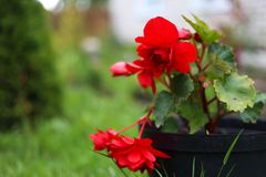 Big red begonia with green background. After rain looks great royalty free stock photography