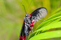Big red and black butterfly on green leaf, Pachliopta kotzebuea.  royalty free stock photo