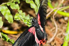 Big red and black butterfly, Pachliopta kotzebuea.  stock photography