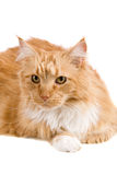 Big red cat Royalty Free Stock Photography