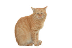Big red cat Royalty Free Stock Image