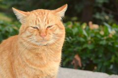 Big red cat eyes. Big red cat is resting under the sun Royalty Free Stock Photo