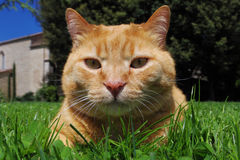 Big red cat on the grass Stock Image