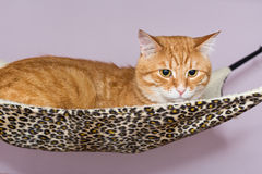 Big red cat lying  in the hammock Royalty Free Stock Image