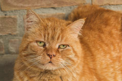 Big red cat Stock Photography