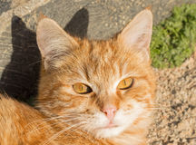 Big red cat eyes. Big red cat is resting under the sun Royalty Free Stock Image