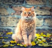 Big red cat sitting and looking forward Stock Images