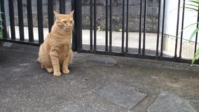 Big red cat sitting on the outdoor stock footage