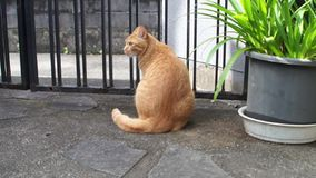 Big red cat sitting on the outdoor stock video