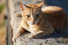 Big red cat. The big red striped cat lies on a stone wall and is basked in the sun stock photos