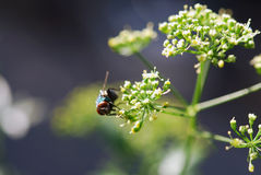 Big red compound eyes of a green fly Royalty Free Stock Photography