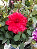 Big Red Dalia. Beautiful flower. Morning smile to you.Nice blossom Royalty Free Stock Images