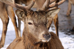 Big Red Deer Stock Photo