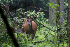 Red deer with antlers. Velvet covers a growing antler. royalty free stock photography