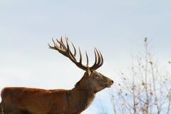 Big red deer stag Royalty Free Stock Image