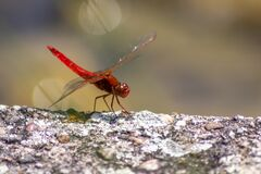 Free Big Red Dragonfly Odonata Warming Up On A Stone In The Sun For The Next Hunt For Insects Has Big Filigree Wings, A Red Body Royalty Free Stock Photos - 190405748