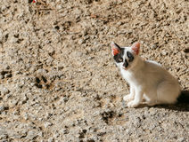 Big Red Ears. Chania, Greece - October 28, 2014: A kitten sitting in the sun and looking at the photographer with a courageous, provoking or inquiring look. The Royalty Free Stock Photo