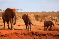 Big red elephants is standing, on safari in Kenya. Big red elephants is standing by the water hole, on safari in Kenya Stock Images