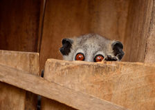 Big red eyes lemur popping its head out of its nest box. Lepilemur leucopus known as white footed sportive lemur hiding in a wooden box Stock Photos