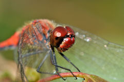 Big red face of red dragon fly Stock Image