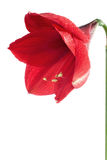 Big red flower 2. Big red flower isolated on white background Royalty Free Stock Images