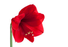 Big red flower 3. Big red flower isolated on white background Stock Images