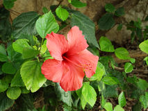 Big red flower. On a background of foliage Stock Image