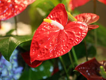 Big red flower with long spadix Royalty Free Stock Images