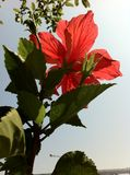The big red flower under the sunshine Stock Images