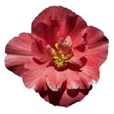 Big red flower on a white background Stock Images