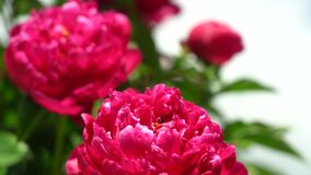 Big red flowers on a sunny day close-up. The bush of blooming Peonies is red. Swinging in the wind. Red peonies on a