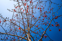 Big red flowers on the tropical tree Stock Photo